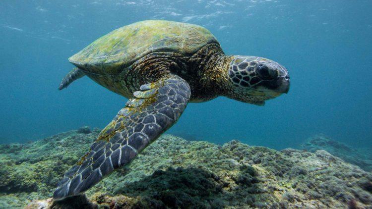 Les tortues de Maui